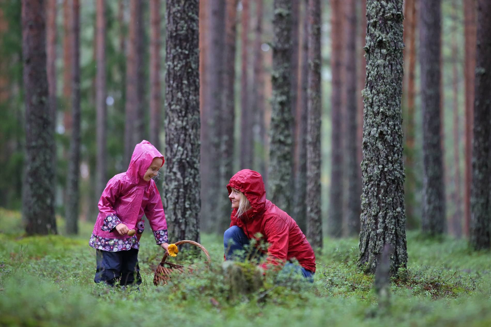 Mushroom picking in the surroundings of Tallinn, Estonia