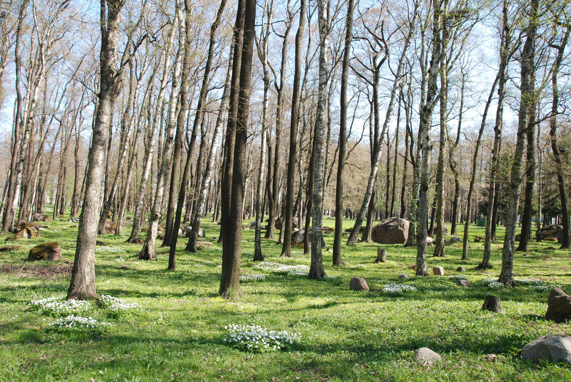 Kopli birch park