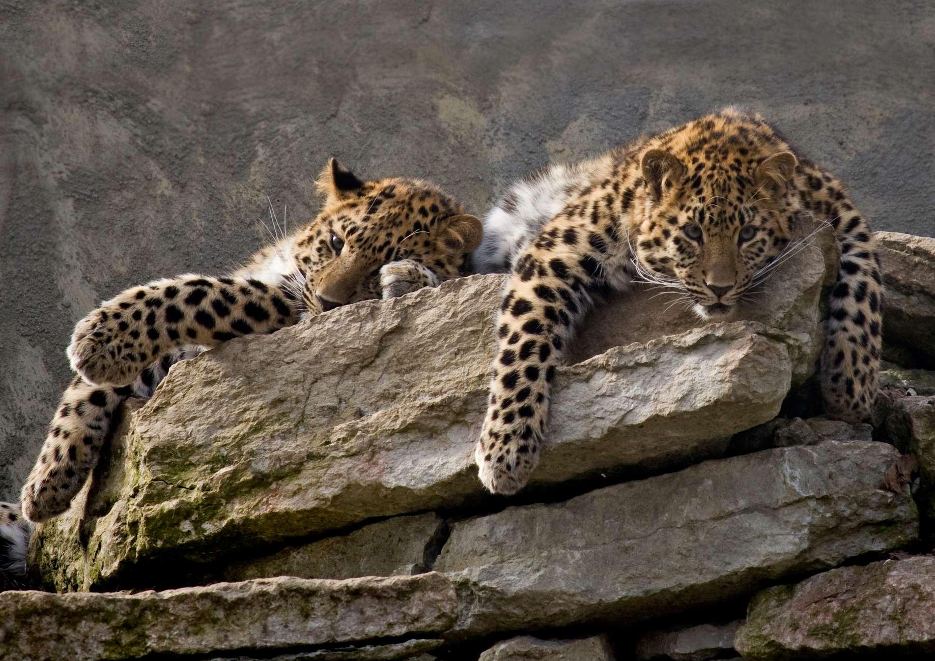 Amur Leopards at the Tallinn Zoo in Estonia