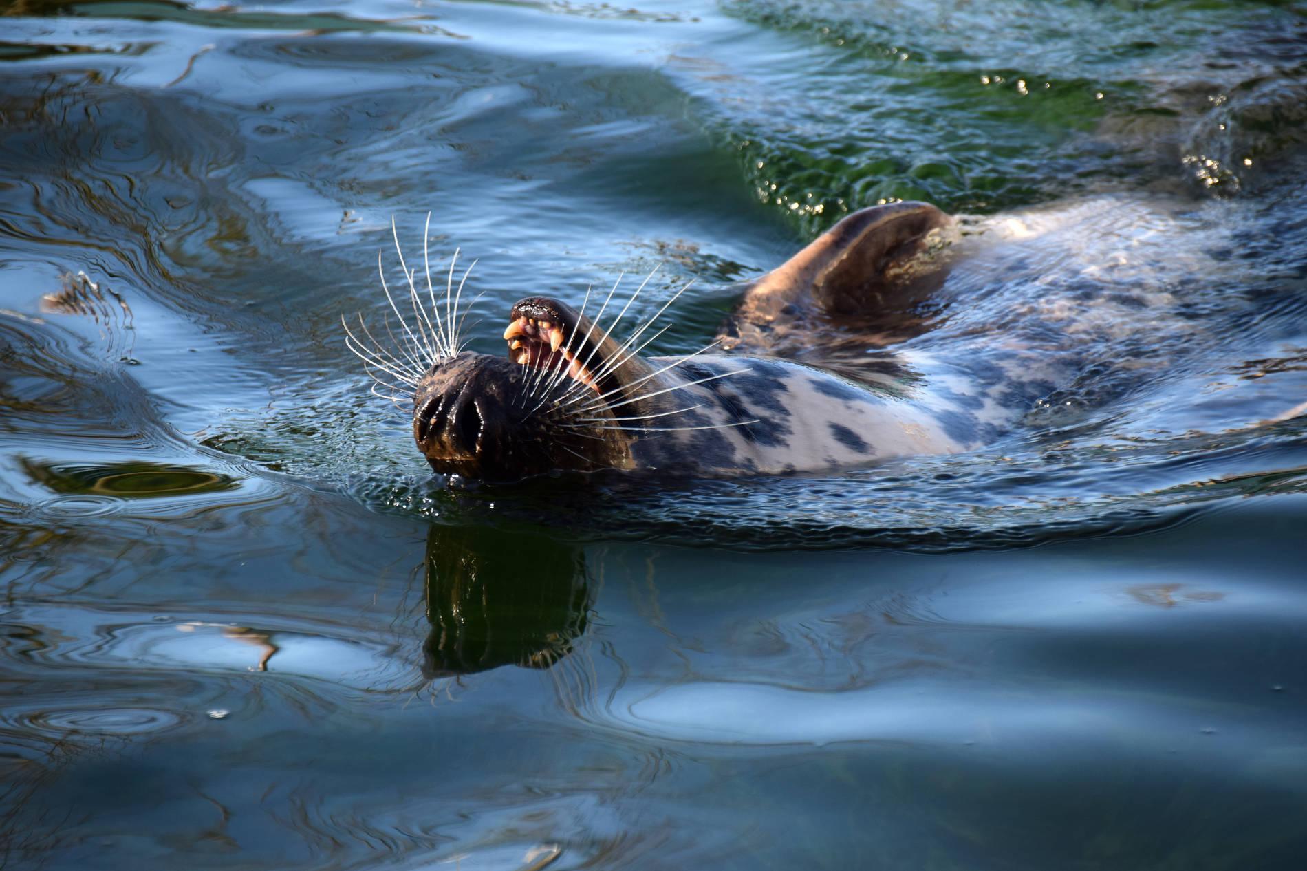 Hüljes ujumas Tallinna loomaaias