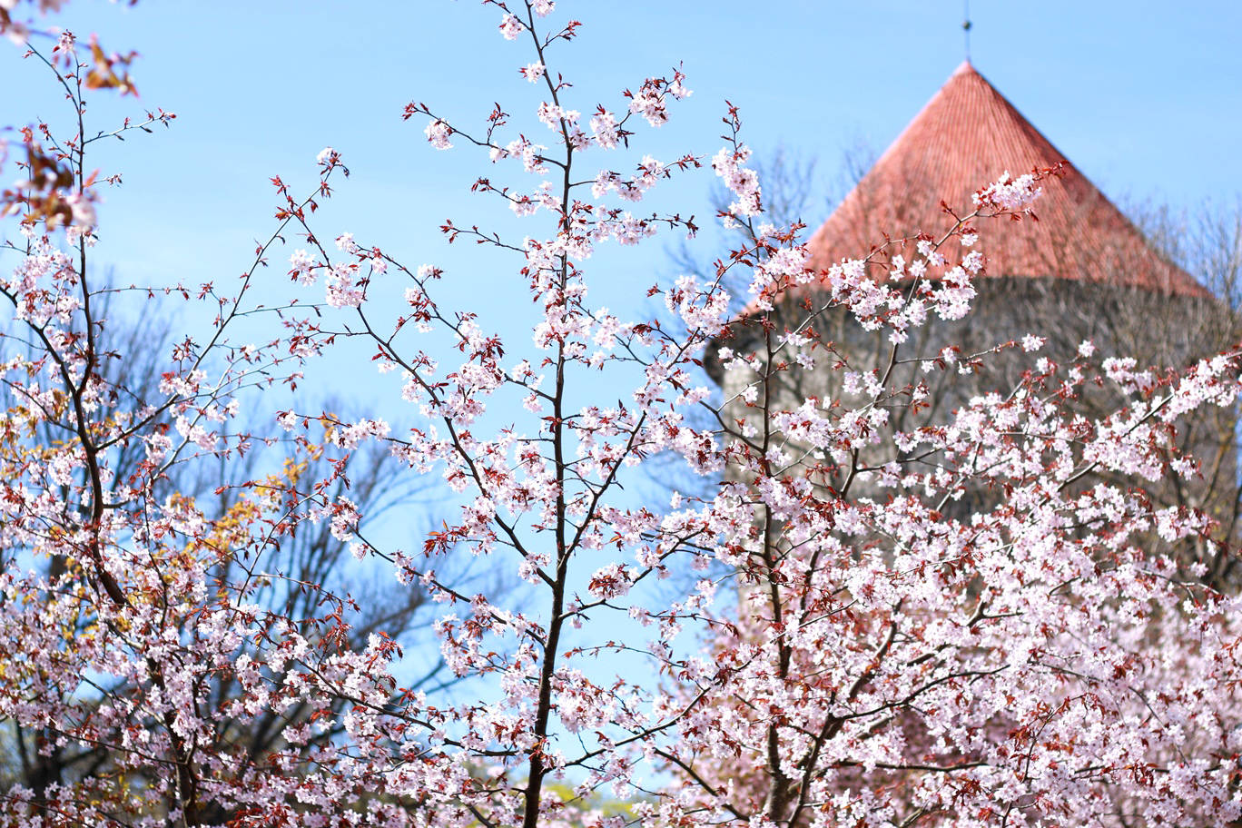 The cherry blossoms on the Freedom Square and the Kiek in de Kök defense tower.